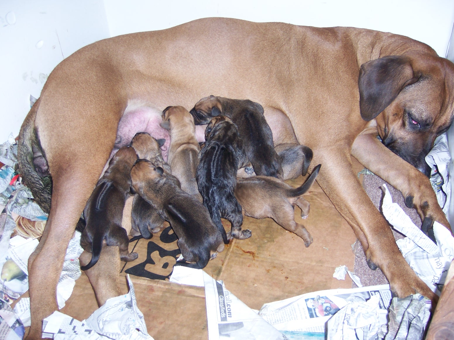 gestation period for labrador retrievers pets world
